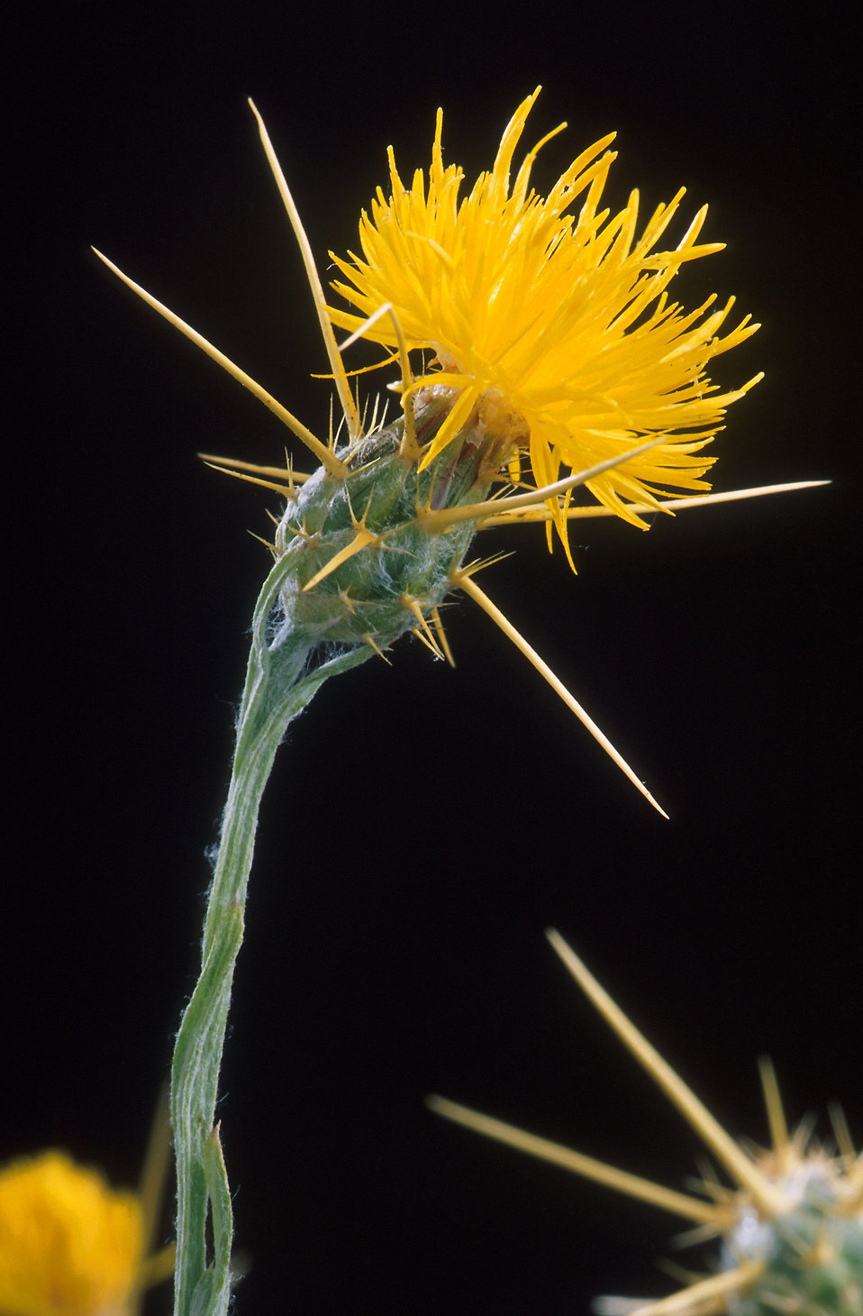 Close-up of yellow starthistle (Centaurea solstitialis) : Free Stock Photo