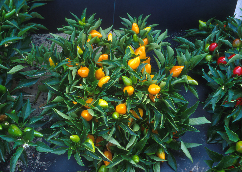 Compact orange pepper plants : Free Stock Photo