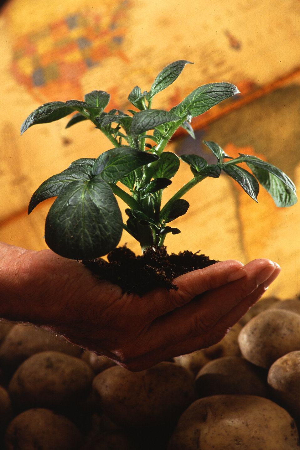 A hand holding a young potato plant.