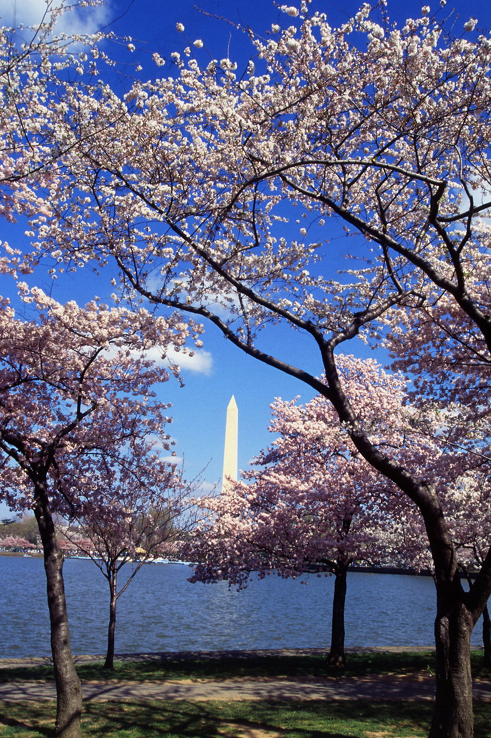 Resplendent cherry trees from Japan ring the Tidal Basin at Washington, D.C. : Free Stock Photo