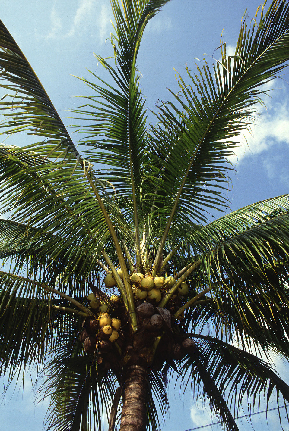 A Manila dwarf coconut palm tree : Free Stock Photo