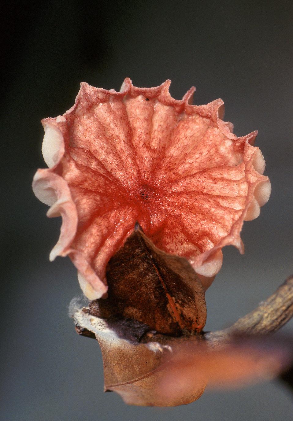 A red Crinipellis perniciosa mushroom : Free Stock Photo