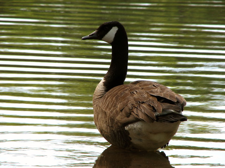 A Canadian goose by the water : Free Stock Photo