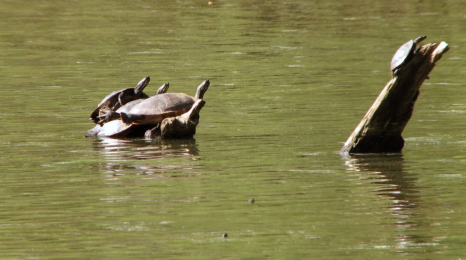 Turtles on a log in a lake : Free Stock Photo