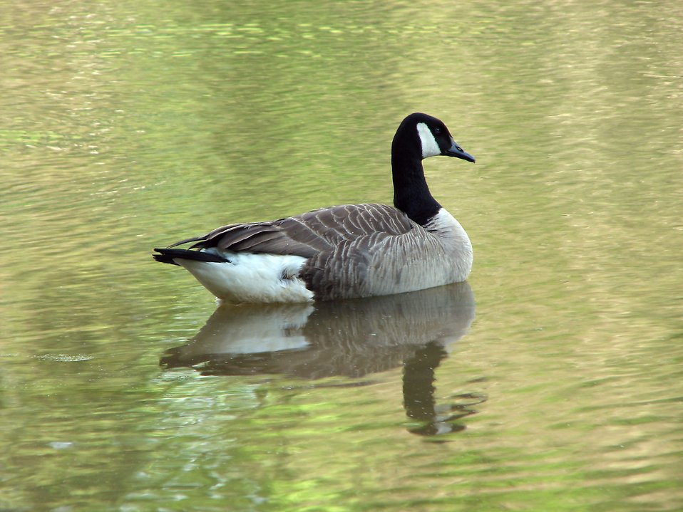 A Canadian goose swimming on the water : Free Stock Photo