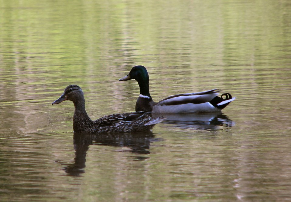 A pair of ducks swimming on the water : Free Stock Photo
