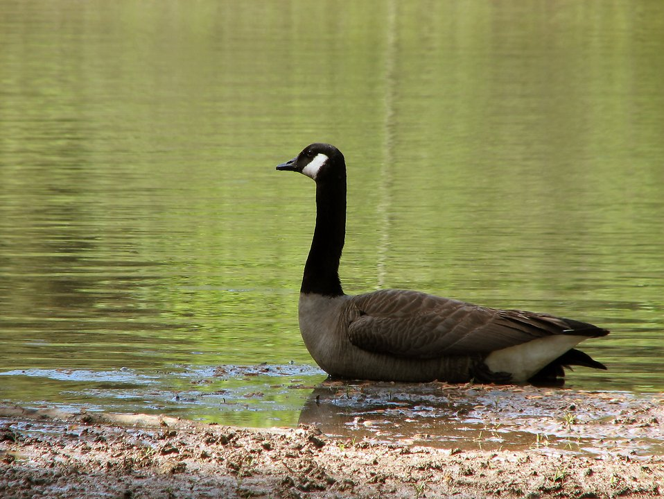 A Canadian goose on the shore of a lake : Free Stock Photo