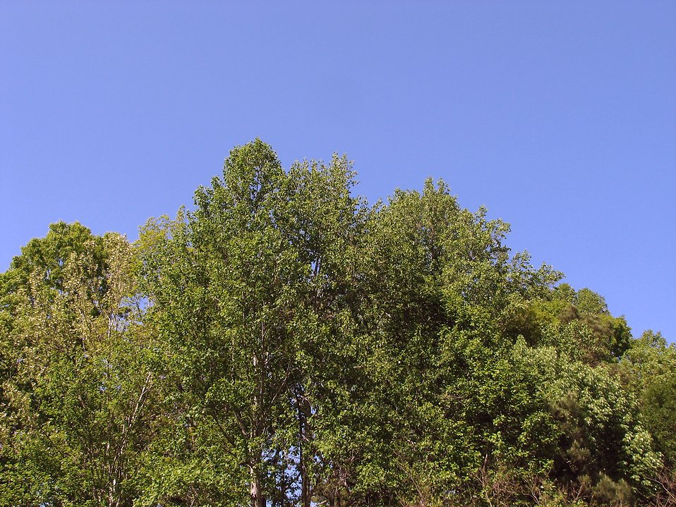 Tree tops with a blue sky background : Free Stock Photo