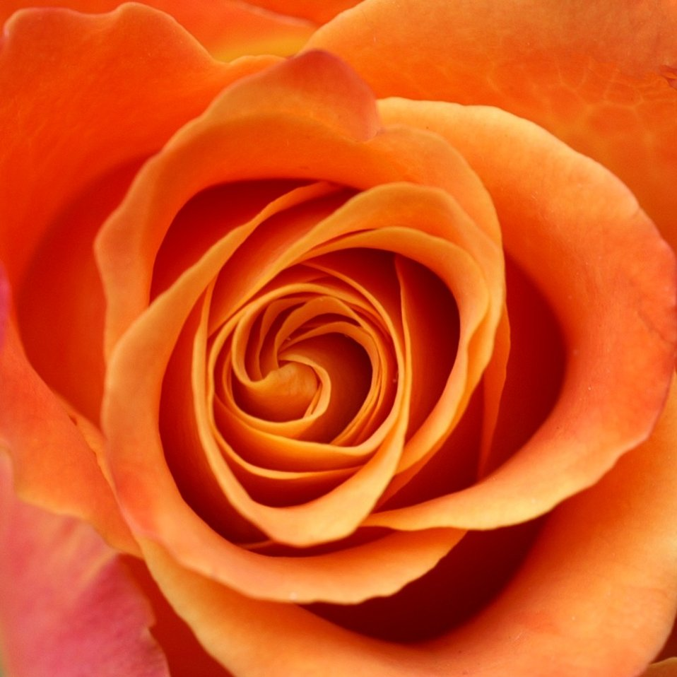 Close-up of an orange rose : Free Stock Photo