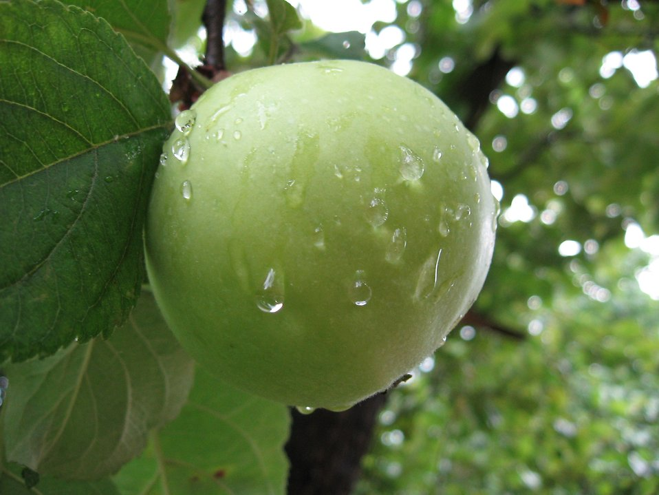 A green apple growing on a tree : Free Stock Photo