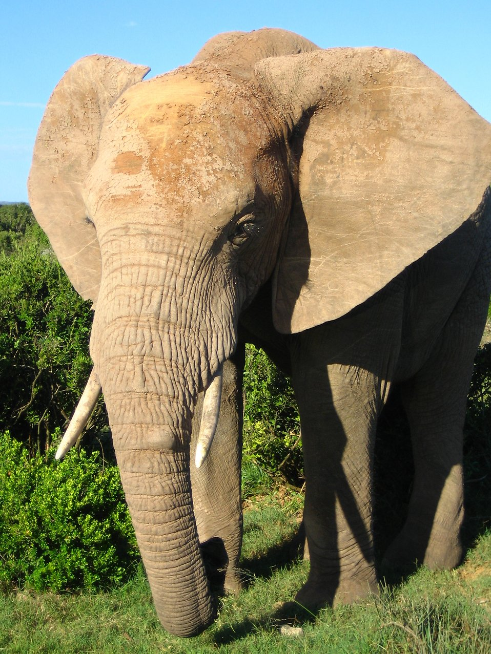 An African elephant : Free Stock Photo