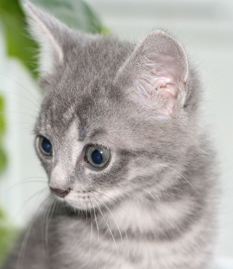 A young gray kitten : Free Stock Photo