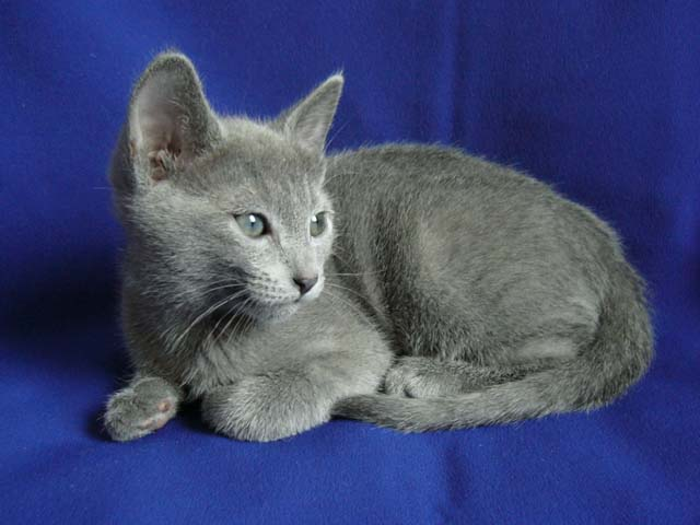 A Russian Blue kitten on a blue background : Free Stock Photo
