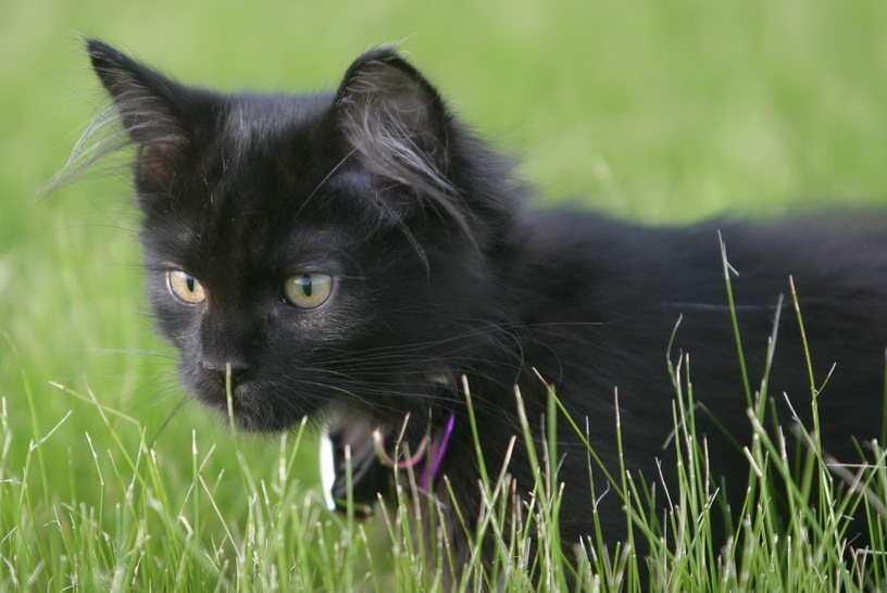 A young black kitten in the grass : Free Stock Photo