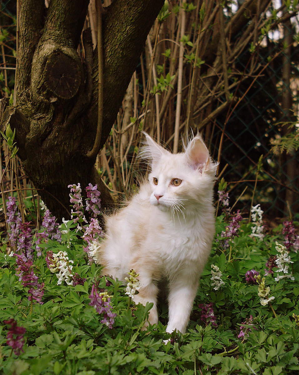A young Maine Coon kitten playing outside : Free Stock Photo