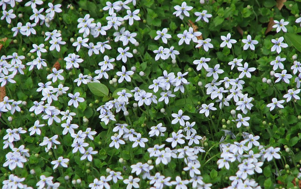 A bed of small blue flowers : Free Stock Photo