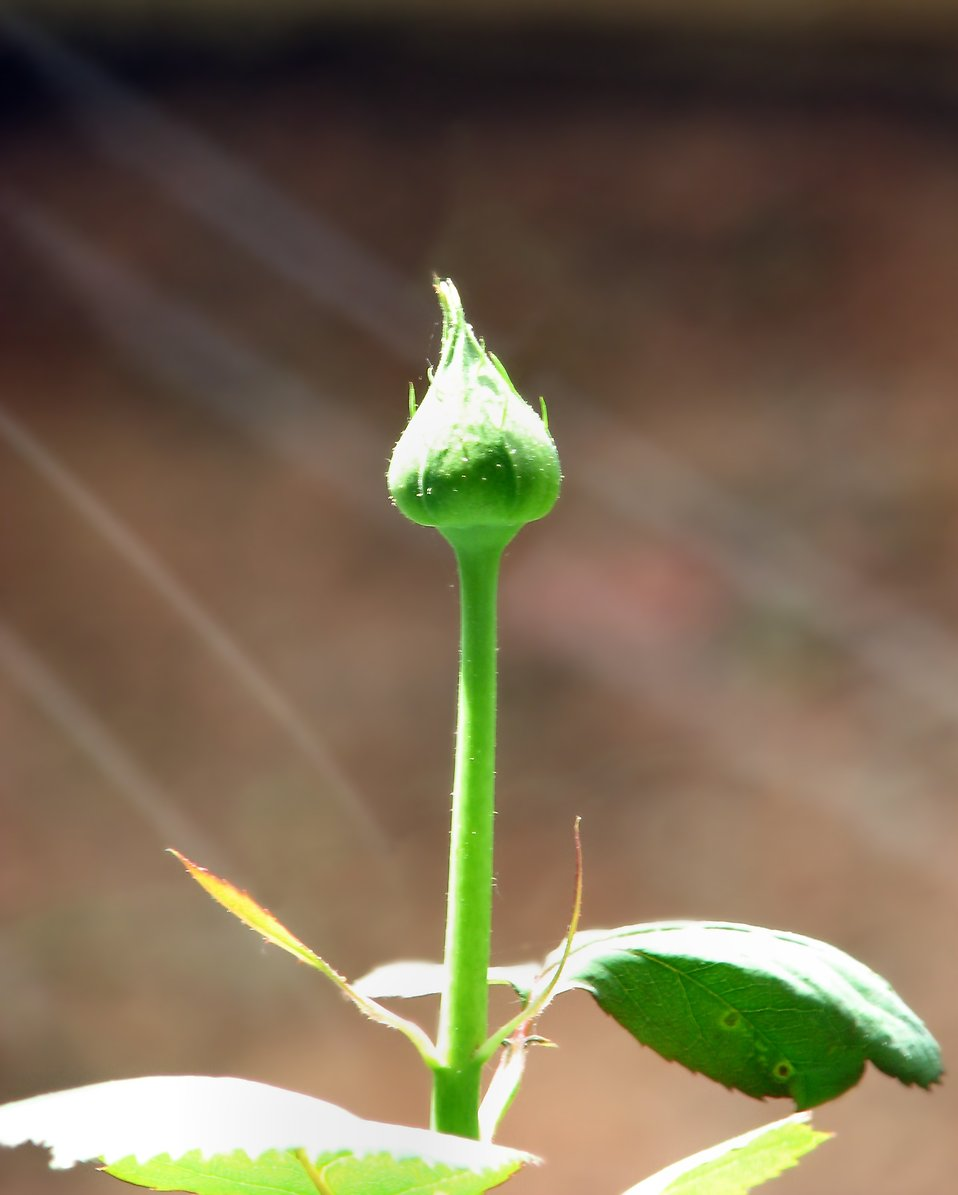 Close-up of a rose bud growing in light rays.