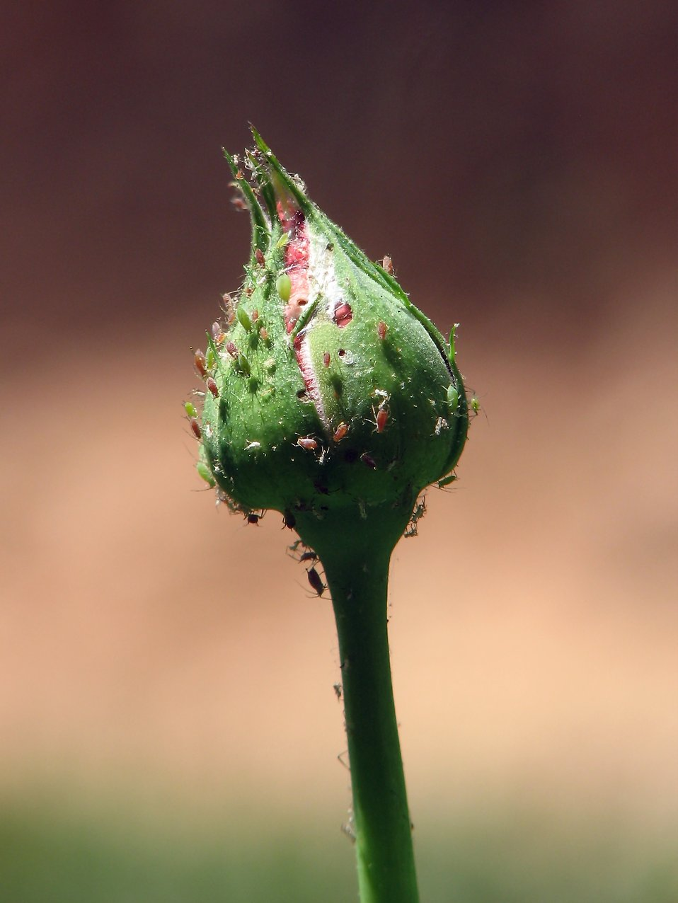 Close-up of a rose bud infested with aphids : Free Stock Photo