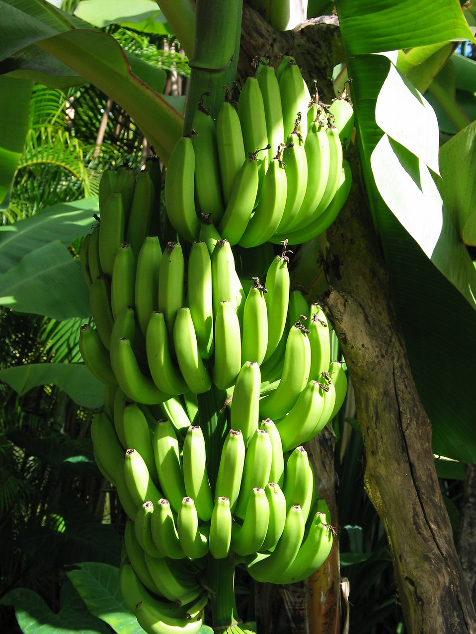 Bananas growing in bunches : Free Stock Photo