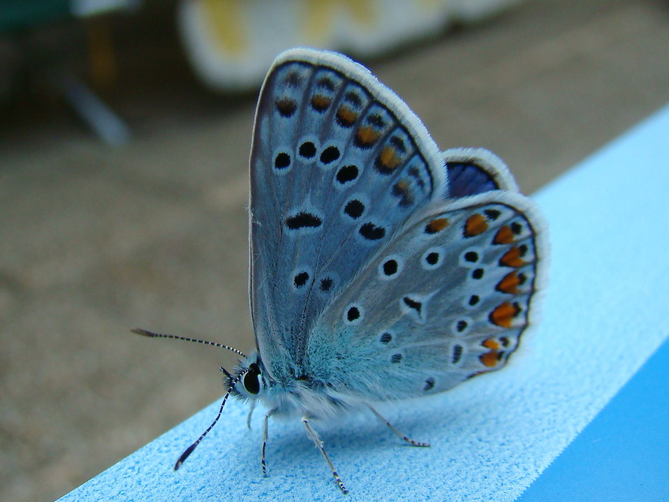 Close-up of a blue butterfly : Free Stock Photo
