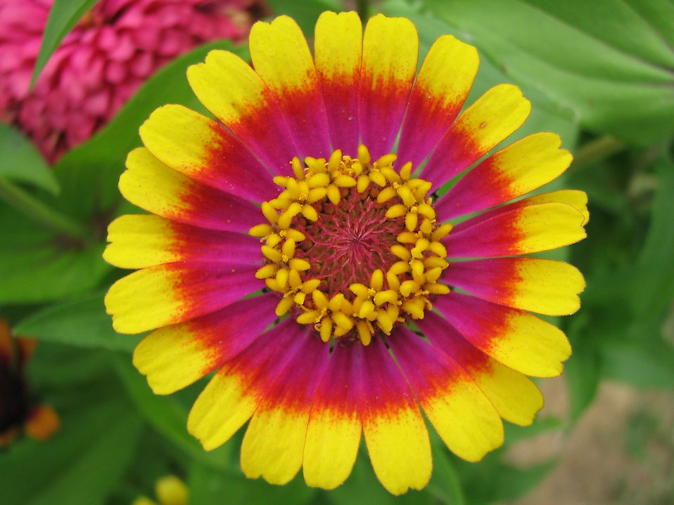 Close-up of a colorful zinnia flower : Free Stock Photo
