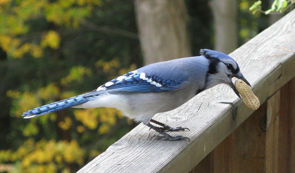A blue jay bird with a peanut : Free Stock Photo