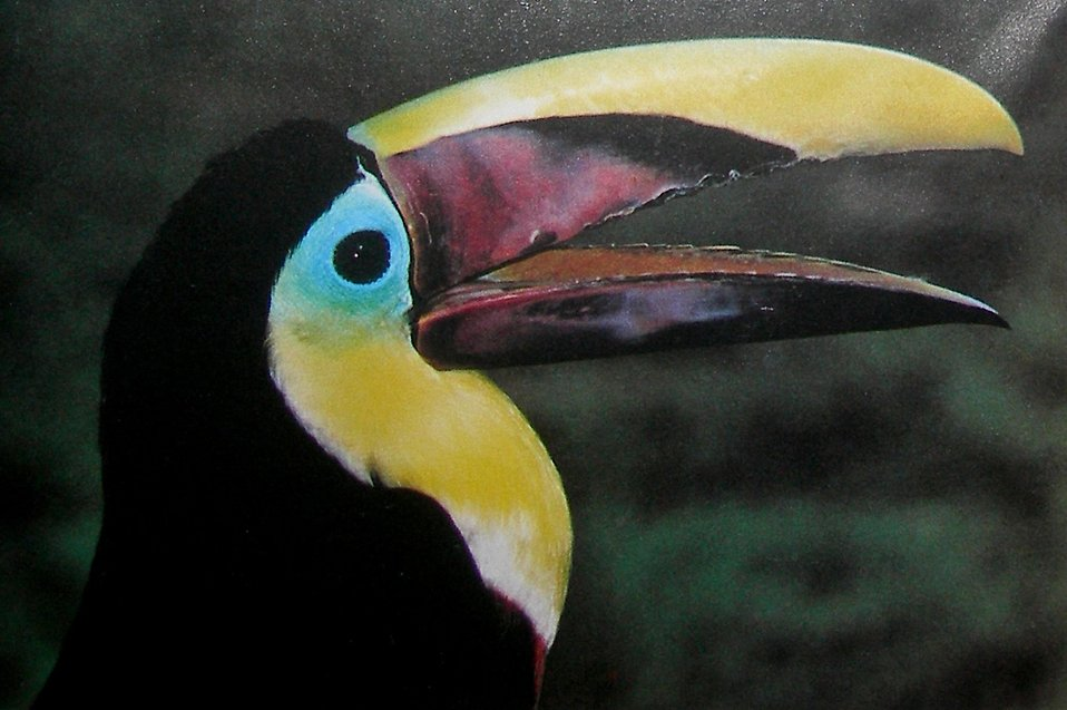 Close-up of a toucan : Free Stock Photo