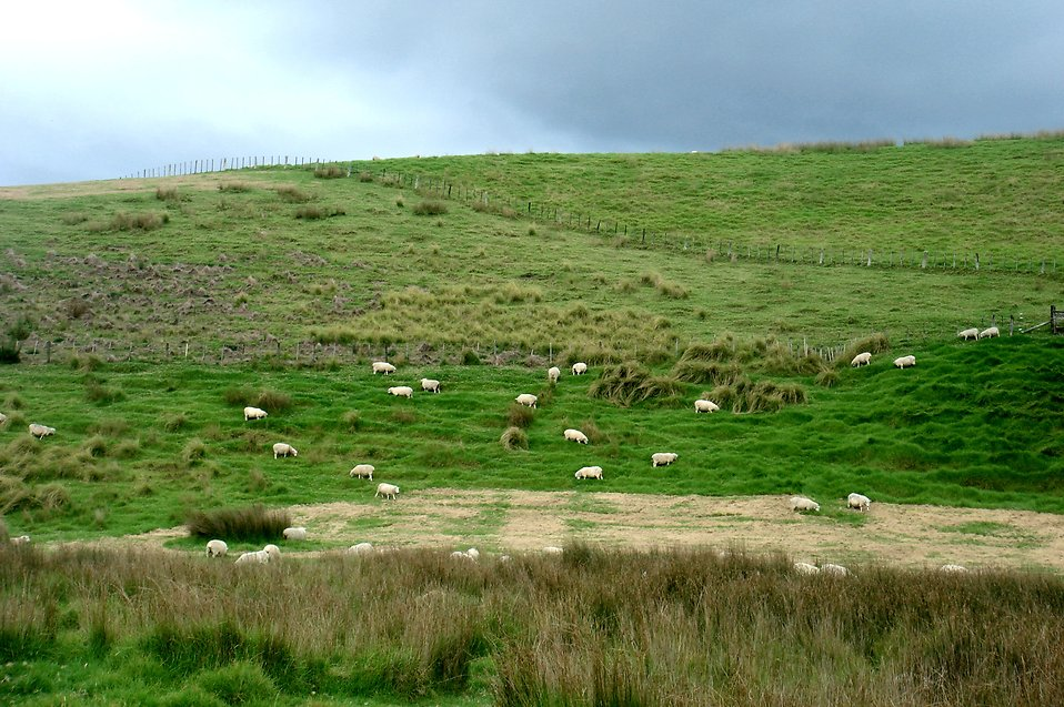 Sheep covering a grassy hill : Free Stock Photo