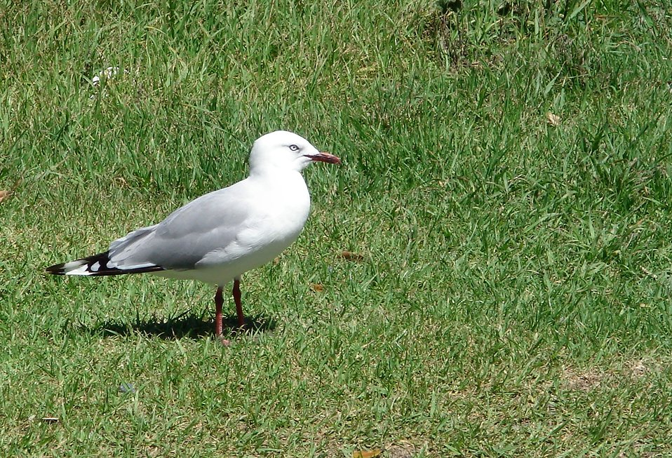 A seagull in the grass : Free Stock Photo