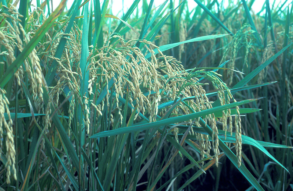 Close-up of rice crops : Free Stock Photo