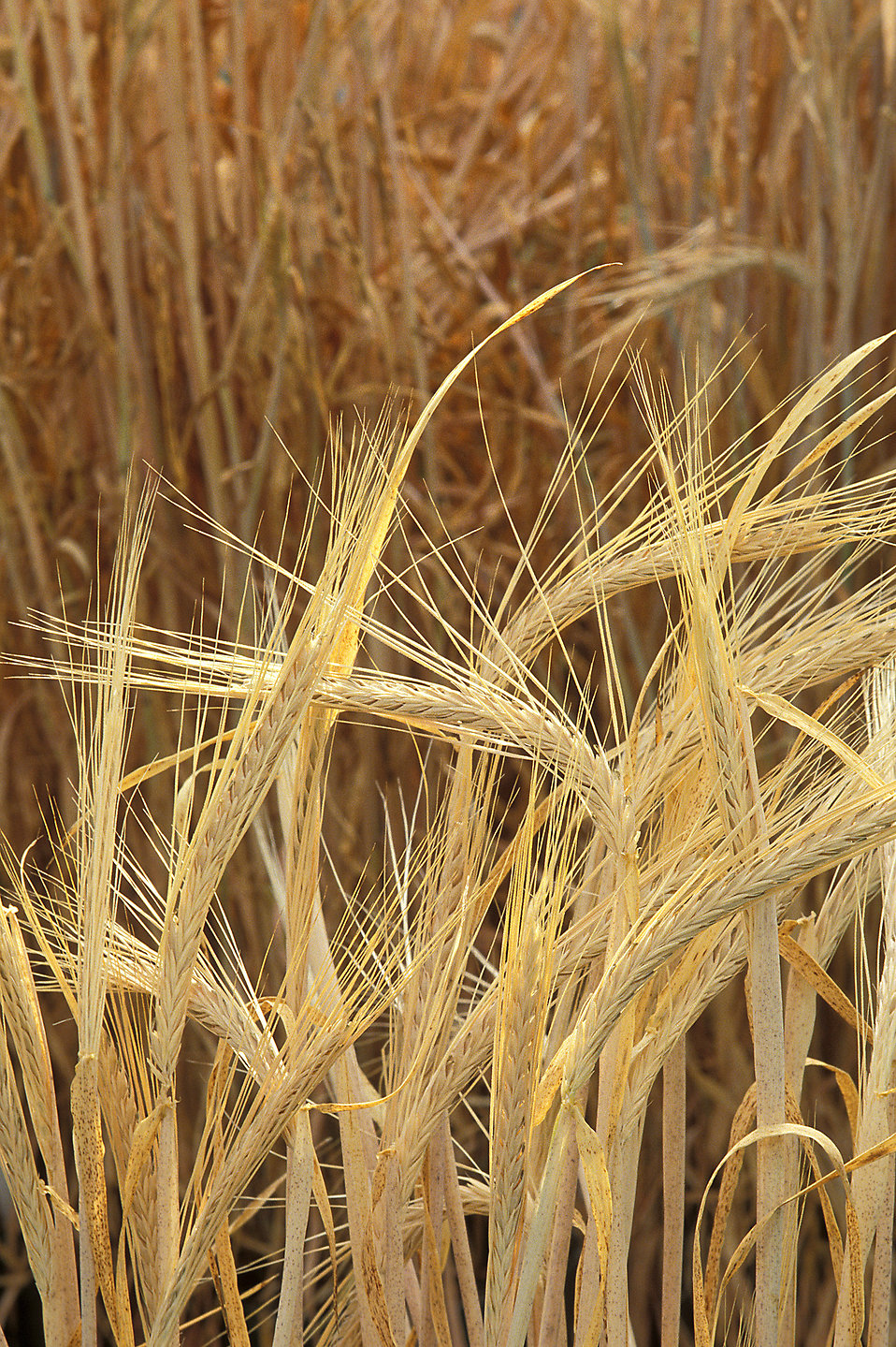 Close-up of barley growing in a field : Free Stock Photo