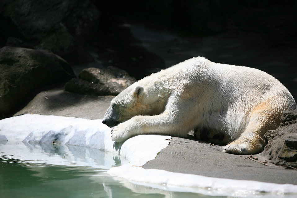 Slumbering polar bear : Free Stock Photo