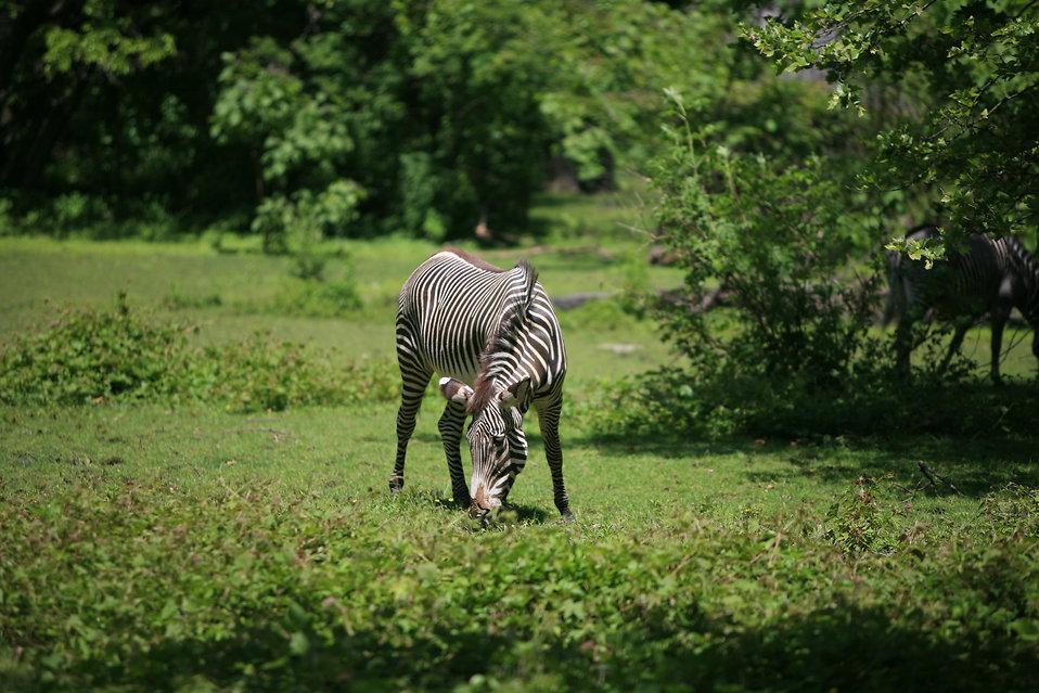 A zebra grazing : Free Stock Photo