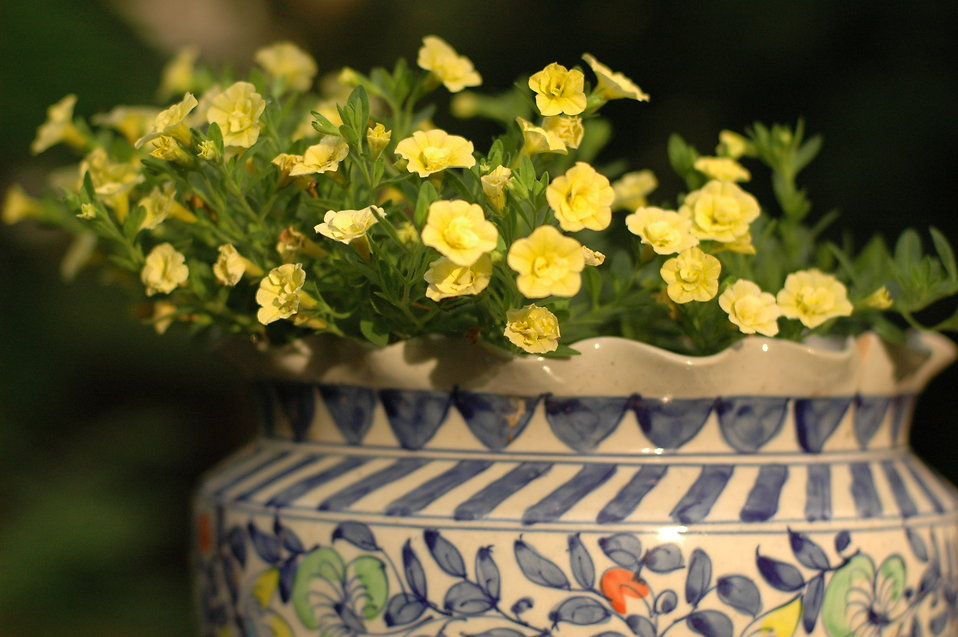 Yellow flowers in a pot : Free Stock Photo