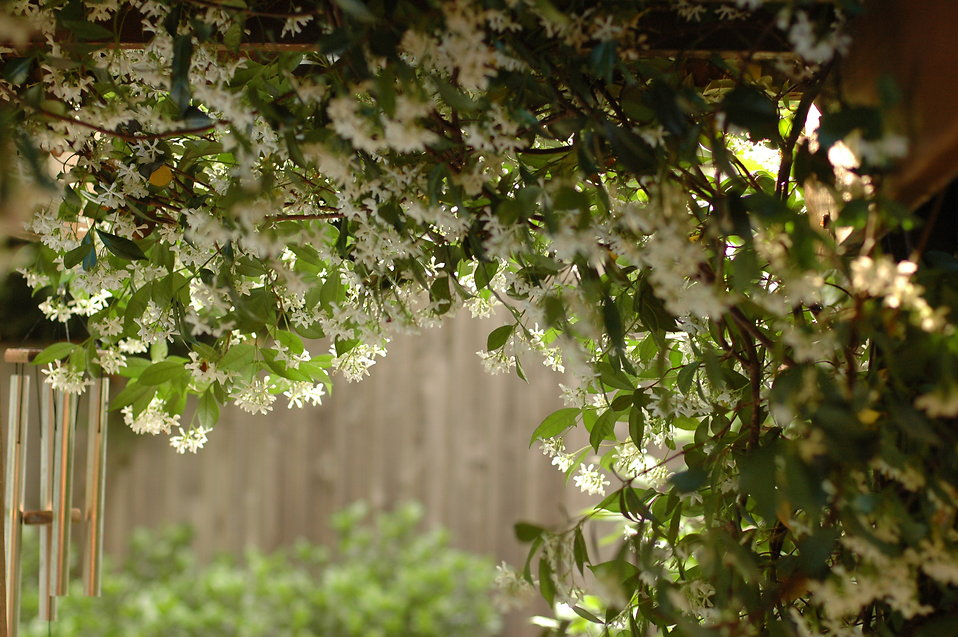 Jasmine flowers hanging from a trellis : Free Stock Photo