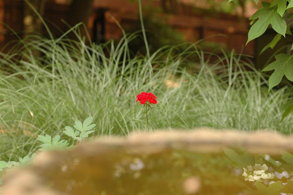 A single pink flower next to bird bath : Free Stock Photo