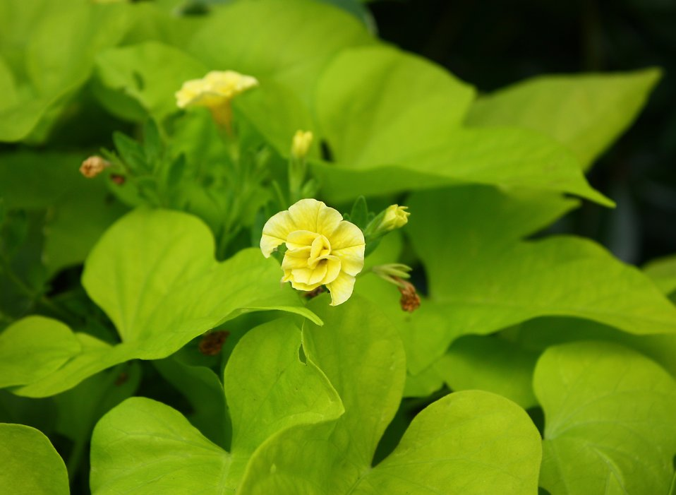 Close-up of a yellow flower with large green leaves : Free Stock Photo