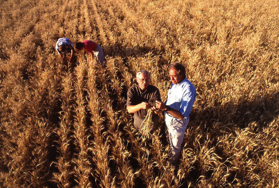 Farmers inspecting wheat in a field : Free Stock Photo
