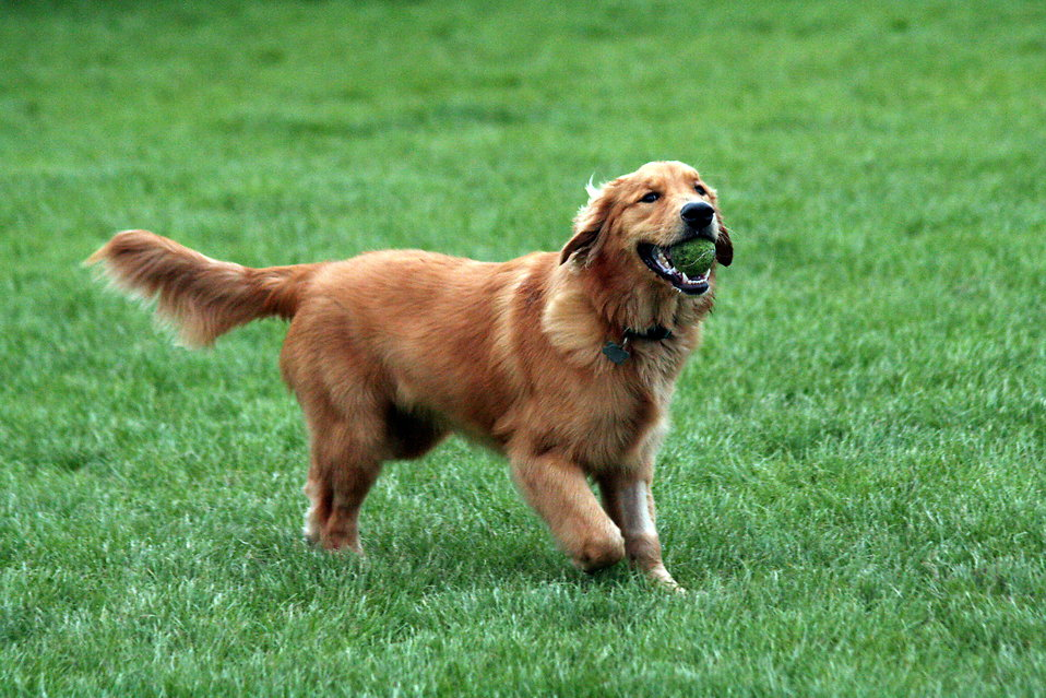 A Golden Retriever dog fetching a tennis ball.