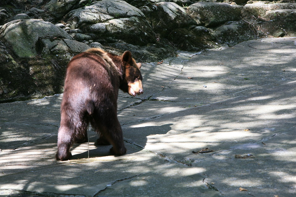 A bear taking a pee : Free Stock Photo