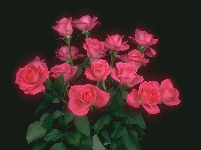 A bouquet of pink roses isolated on a black background : Free Stock Photo