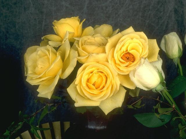 Close-up of yellow roses : Free Stock Photo