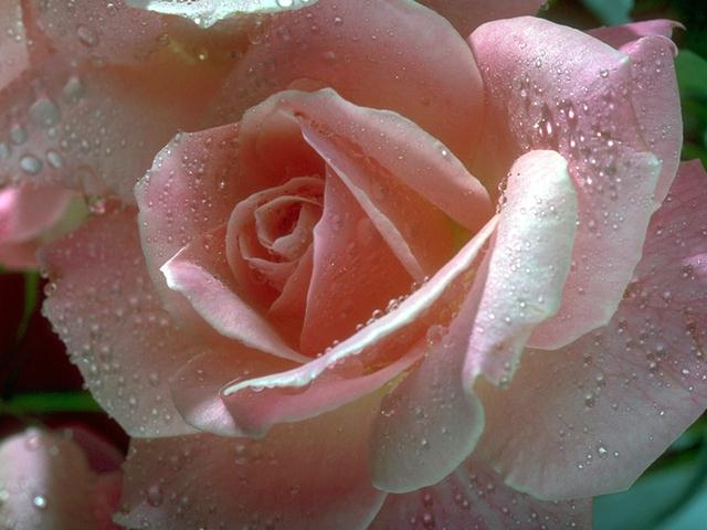 Close-up of a pink rose : Free Stock Photo