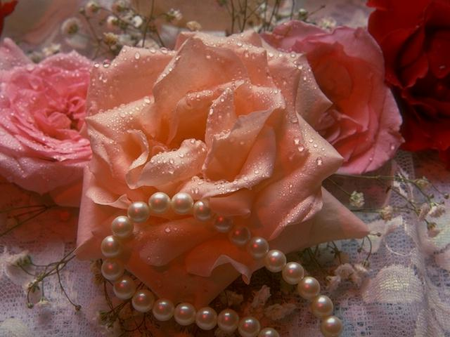 Close-up of pink and red roses with a string of pearls : Free Stock Photo