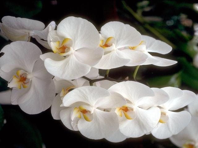 Close-up of white orchids : Free Stock Photo