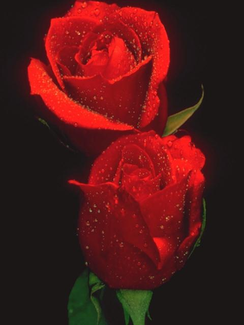 Two red roses isolated on a black background : Free Stock Photo