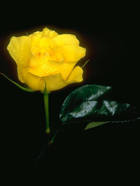A yellow rose isolated on a black background : Free Stock Photo