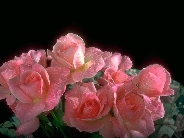 Close-up of pink roses on a black background : Free Stock Photo