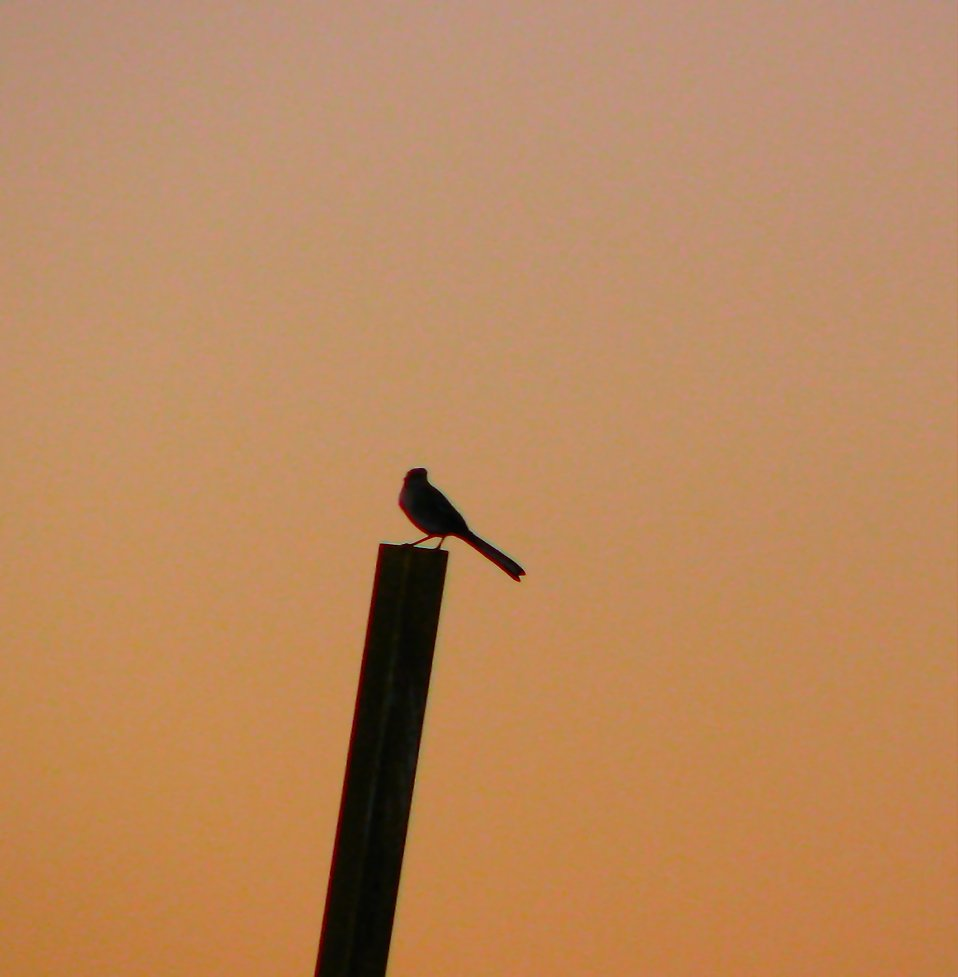 Silhouette of a bird perched on a crooked pole at sunset : Free Stock Photo