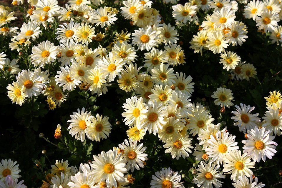 Close-up of white and yellow daisies : Free Stock Photo